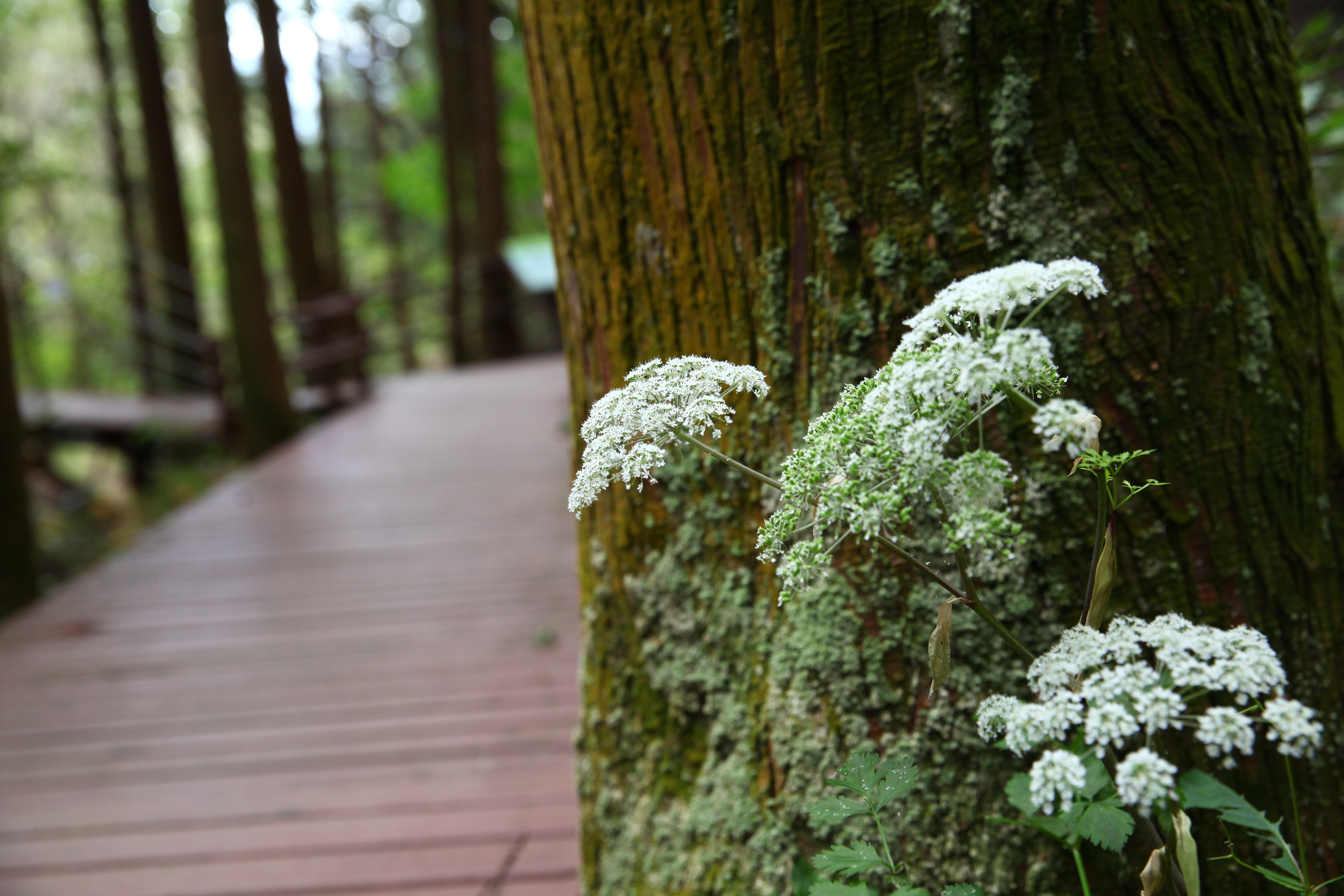 삼나무 숲길