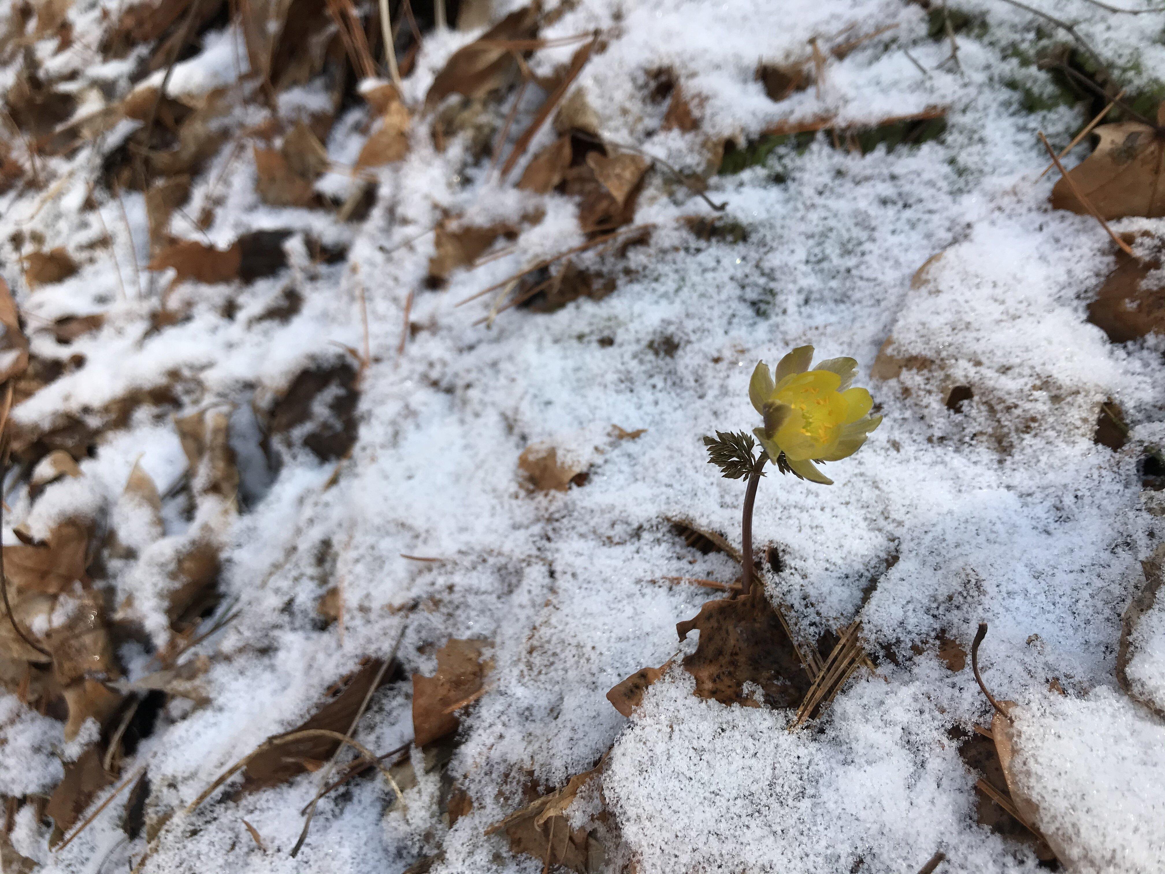 얼음새꽃(복수초)