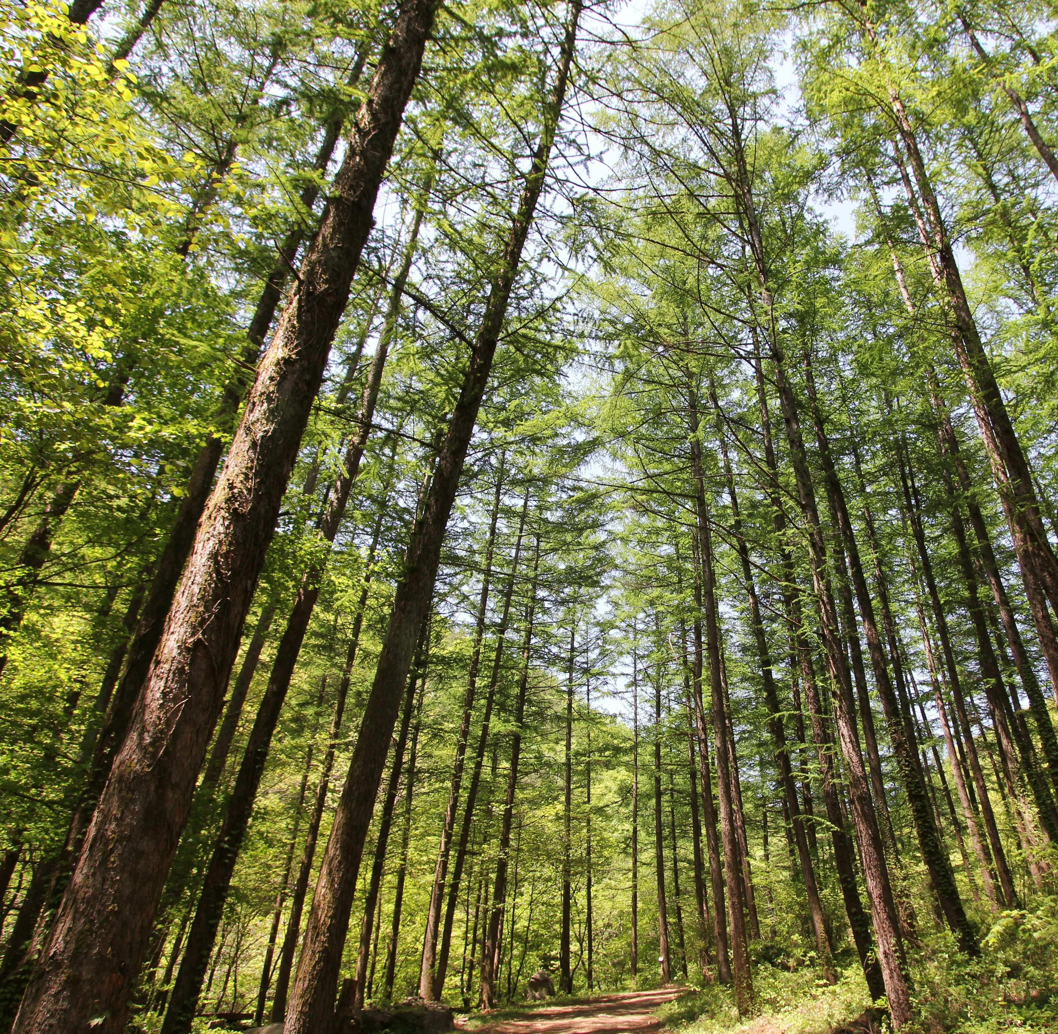 강씨봉자연휴양림 낙엽송쉼터(봄)