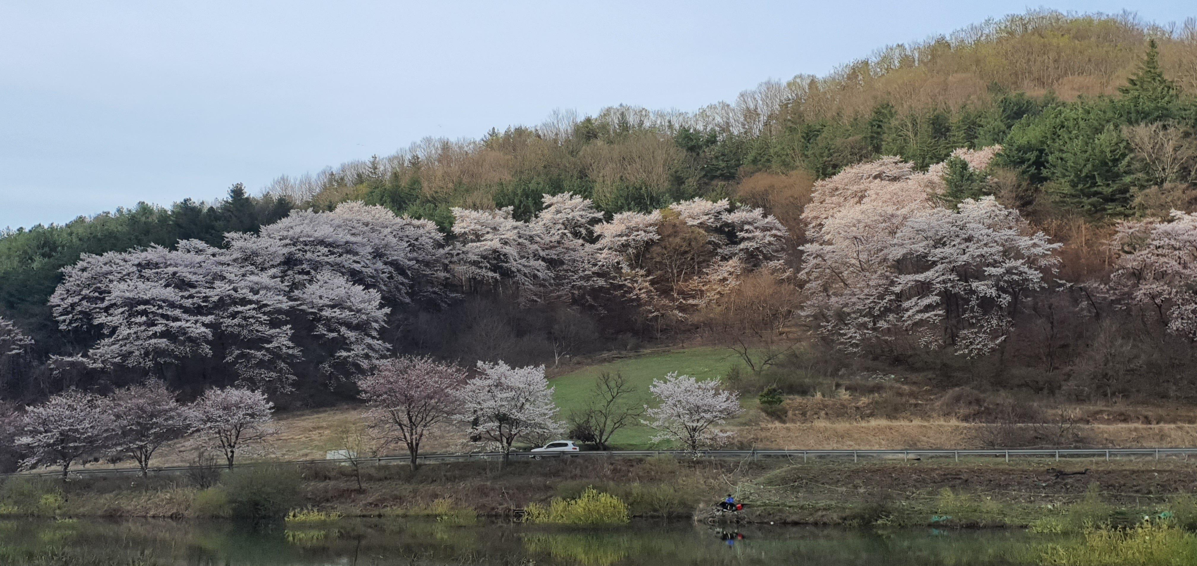 칠갑산 천장호 벚꽃