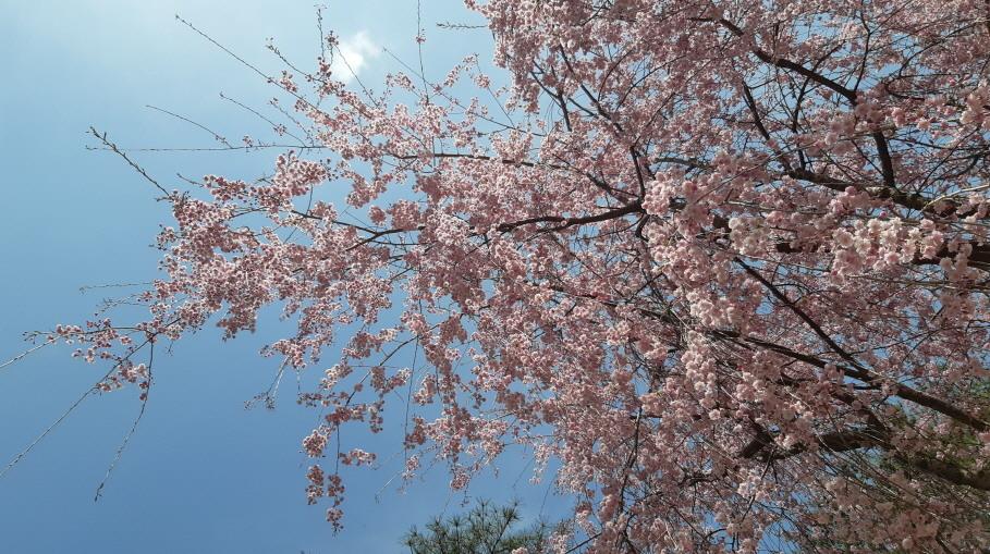 금원산(꽃)