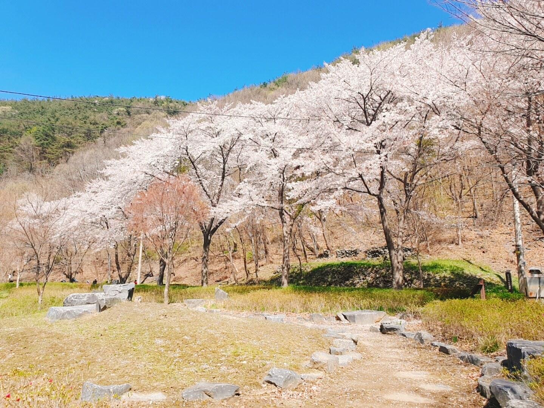 휴양림 벚꽃