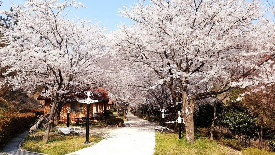 봄(A동 벛꽃)