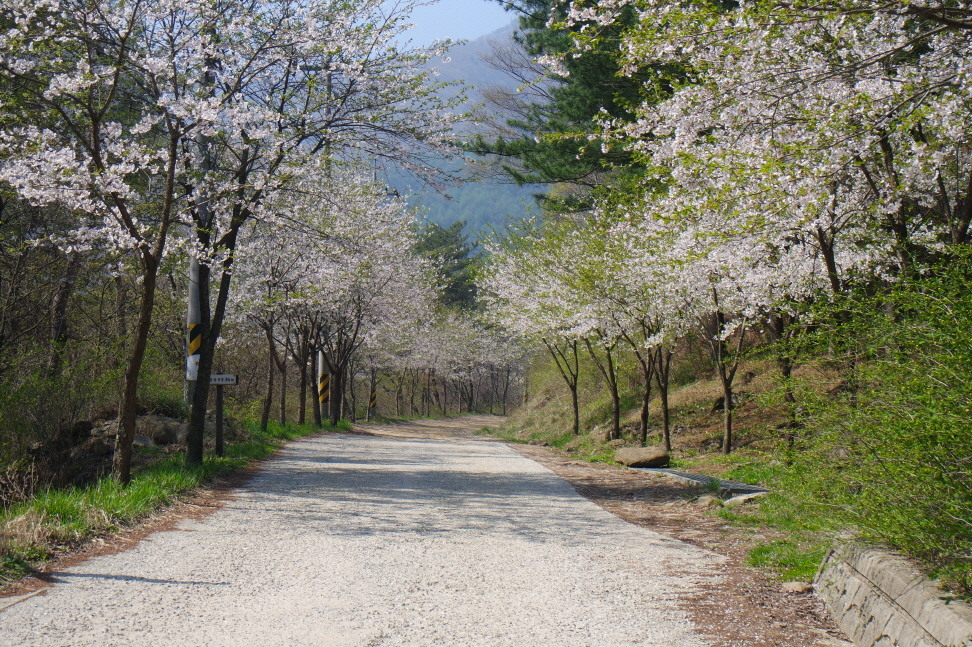 백운산자연휴양림 벚꽃길